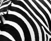 Zebra stripes. Black and White. 8x10 Fine Art Photography
