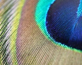 Peacock feather photo Macro photography 5x7 inch Fine art photograph
