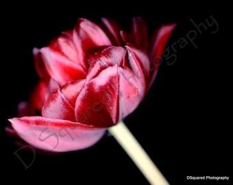 Rose Tulips
