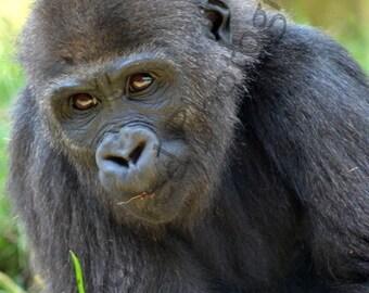 Baby Gorilla - San Diego Zoo - African Wildlife