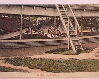Vintage Color Postcard Whale Bones on Longbeach California biologist marine life gift