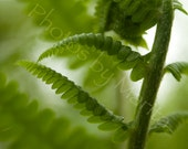 "Fiddlehead Fern Close-Up Summer Forest Plant Fine Art Nature Photography  --  7"" x 11"""