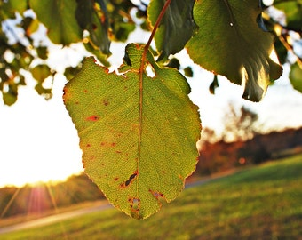 Green Leaf by Sunlight Photograph 8x12 Print