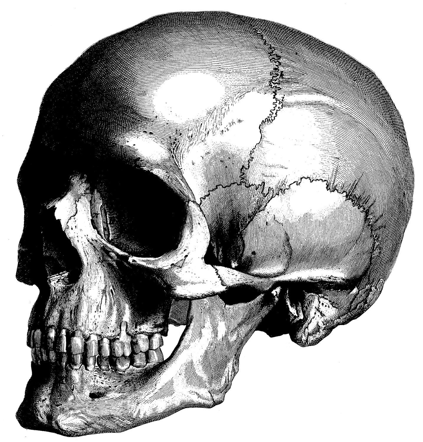 Human Anatomy the human skull Old medical atlas illustration