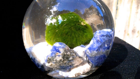 Japanese Living Marimo moss ball in its crystal cavern terrarium with sodalite crystals, home decor