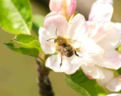 The Bee and the Pink Flowers' story. Set of 3 Digital Download Wall Nursery Office HOME DECOR Fine Art Photography Spring Bloom Garden