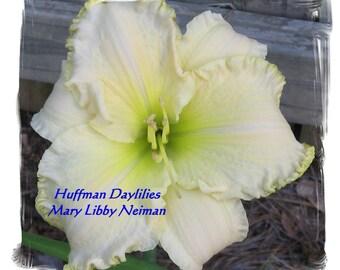 "Daylily, ""MARY LIBBY NEIMAN"", double fan, perennial"