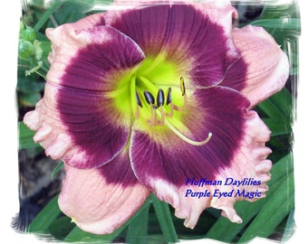 "Daylily, ""Purple Eyed Magic"", double fan, perennial"