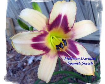 "Daylily, ""SPANISH SKETCH"", double fan"