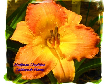 """Daylily, """"TAHLEQUAH FLAME"""", single fan, perennial"""