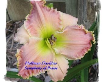 Daylily: 'SYMPHONY OF PRAISE', double fan, perennial