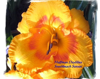 "Daylily, ""South Beach Sunset"", double fan perennial"