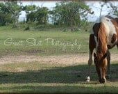 "Chincoteague Pony Photo - Horse Photography, 8""x10"""