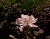 Flower Photography, Blackberry Flower ,  Fine Art Photography 8X10