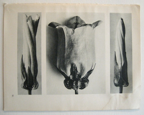 Reserved for Lesley- Blossfeldt Print from 1936 Edition Unformen Der Kunst