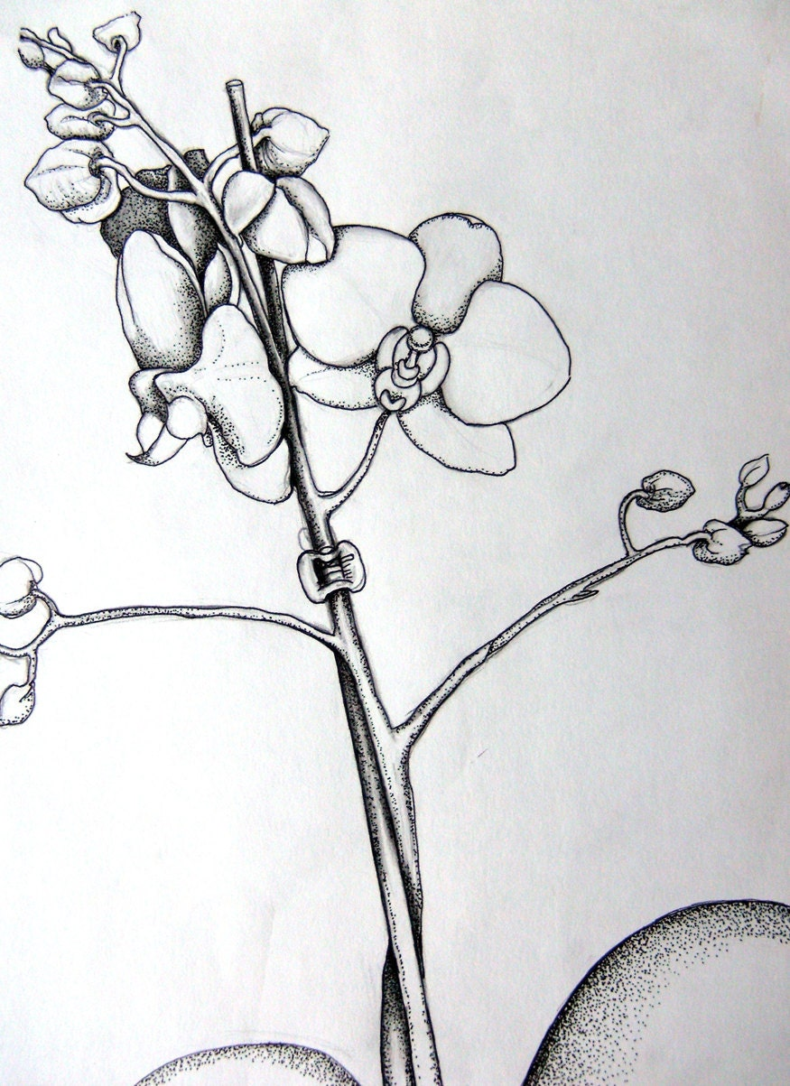 Orchid Flower Line Drawing : Gousicteco orchid drawing easy images
