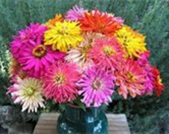 Zinnia Giant Cactus Mix, Seeds, Tons of Colors, Attracts Butterflies to Your Garden