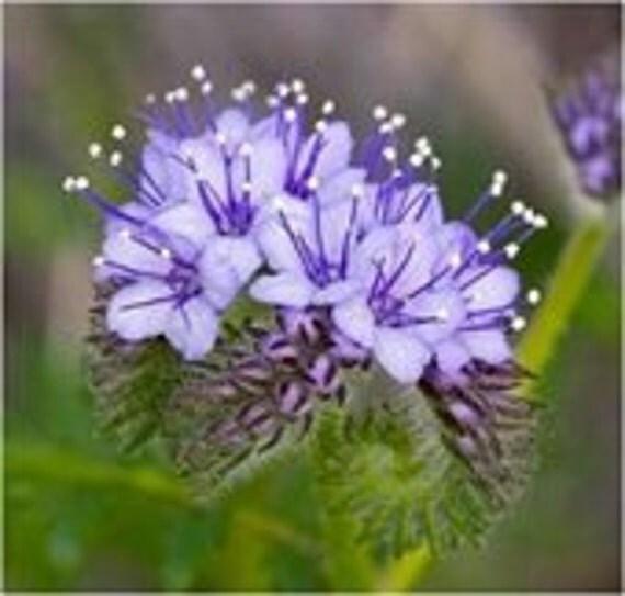 BULK, Bee's Friend, 500 Garden Flower Seeds, Attracts Bees and Butterflies