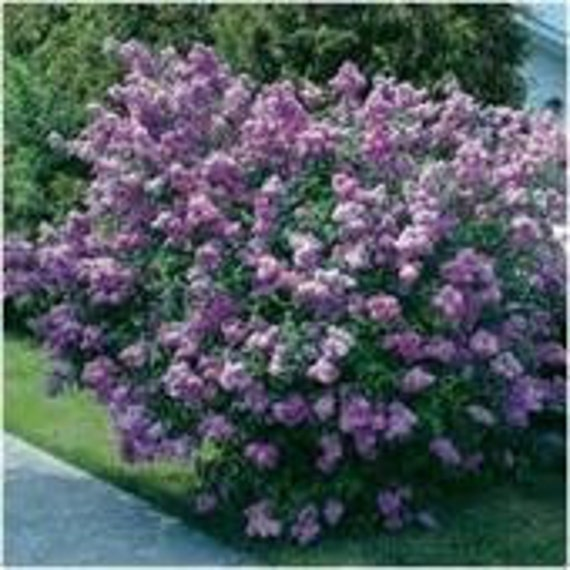Lilac, Late Villosa, Flower Seeds