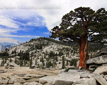 Juniper Tree photograph, 8x12 print matted on black 12x16 mat.  Yosemite, a red juniper tree on a granite rocks, with Half Dome in distance