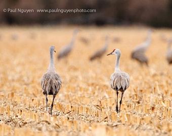 Sandhill crane pair photograph, 8x10 print matted on white 11x14 mat. A pair of sandhill cranes walks away in a corn field