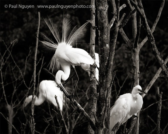 Egrets in Tree black and white photograph, 8x10 print matted on white 11x14 mat. Great egret spreading tail feathers in tree