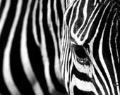 Zebra - 8x10 fine art photography print