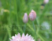 8x10 photo of chives in Illinois backyard