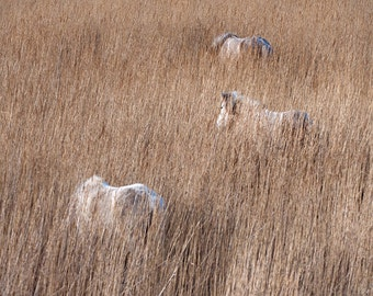 Horse photo, rustic decor, fine art photo print, ponies in the reeds, equine wall art, various sizes