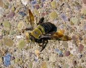Huge Bee with Hypnotic Eyes