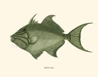 Triggerfish Print Balistidae Recovered Vintage Illustration  Balista vieja