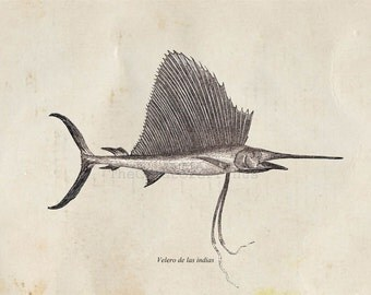 Fish Print from a Vintage Illustration Indo Pacific Sailfish