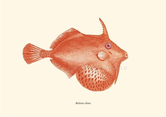 Vintage Fish Print Triggerfish  Balistidae Recovered  Illustration Orange