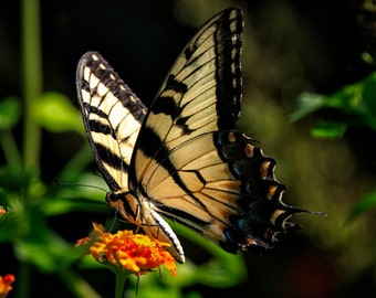 Tiger Swallowtail Butterfly Nature Photograph , 8x10 (and larger) Fine Art Photo Print, Yellow Butterfly and Orange Flower Large Wall Art
