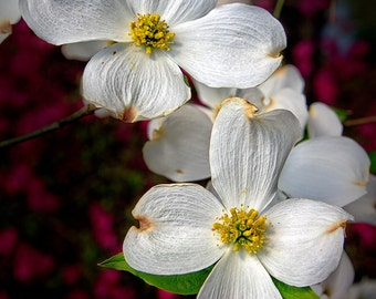 """Dogwood Flower Fine Art Photography, 8x12 (and larger), """"Spring in the South"""" Southern Charm Fine Art Photo Print"""