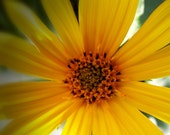 Photography (4) Bold Colorful Yellow Flower Photos Prints