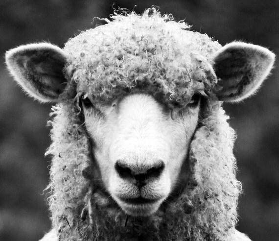 Glory - Portrait of a Sheep (12 x 12)