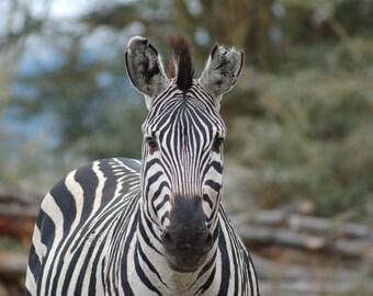 Fine Art Photograph - African Zebra - 8x10
