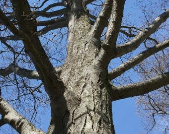 Family Tree.   Reaching Tree Blue Skies Upward Limbs Ancestors Wise One. Vancouver, Fine Art Photography BC Canada 8x10