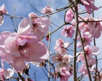 Pink Magnolia, Vancouver, BC. 8x10