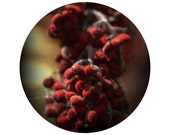 SUMAC.  Circular photo of a Staghorn Sumac bloom.  Tree, berries ,red, dramatic home decor.