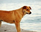 "Dog at the sea - Fine art photography - Print (20x30 cm) 8""x12""-Seascape - Animal - Orange, beige,white, blue, brown,gray tones- Wall decor"