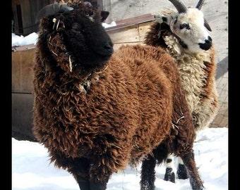 Sheepies - Print