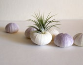 sale // 6 sea urchins // imperfect