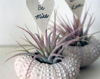 valentine // air plant // urchin terrarium garden