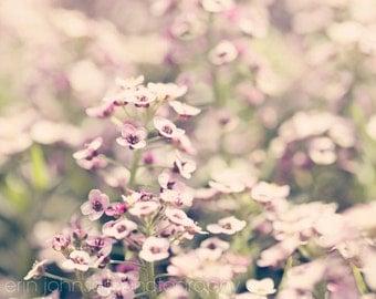 purple flower photography, nature photography, purple home decor, purple wall art, Sweet Alyssum