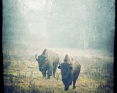 bison - buffalo photography, wildlife photo, animal, southwestern photo - western print