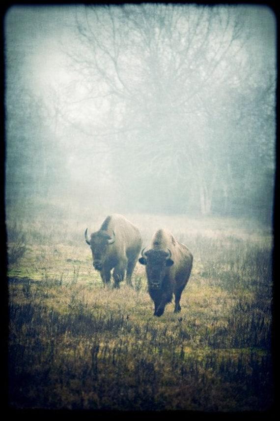 Cyber Monday - Black Friday Sale - 40% off - bison - buffalo wildlife animals pair two couple mist fog - decorative print 8 x 12