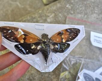 OVERSTOCK: spread Ambragaeana ambra Cicadas