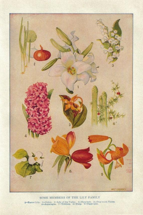 Lily Botanical Chart Vintage Floral Print Paper Ephemera Lilies
